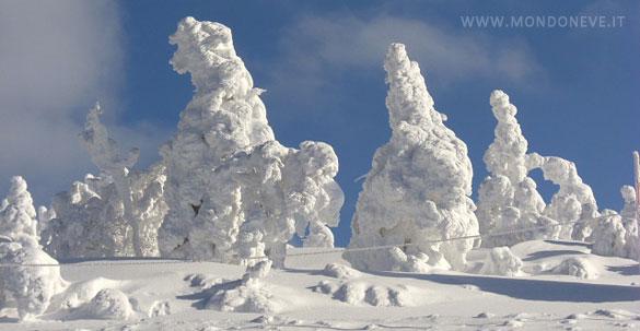pini sotto la neve