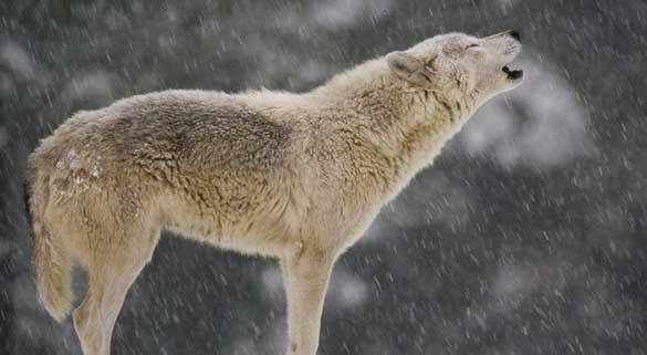 lupo e la neve