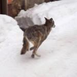 La neve spinge i Lupi nei centri abitati