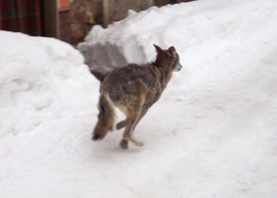 lupo che scappa