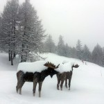 Bardonecchia Statue Alci sotto la Neve