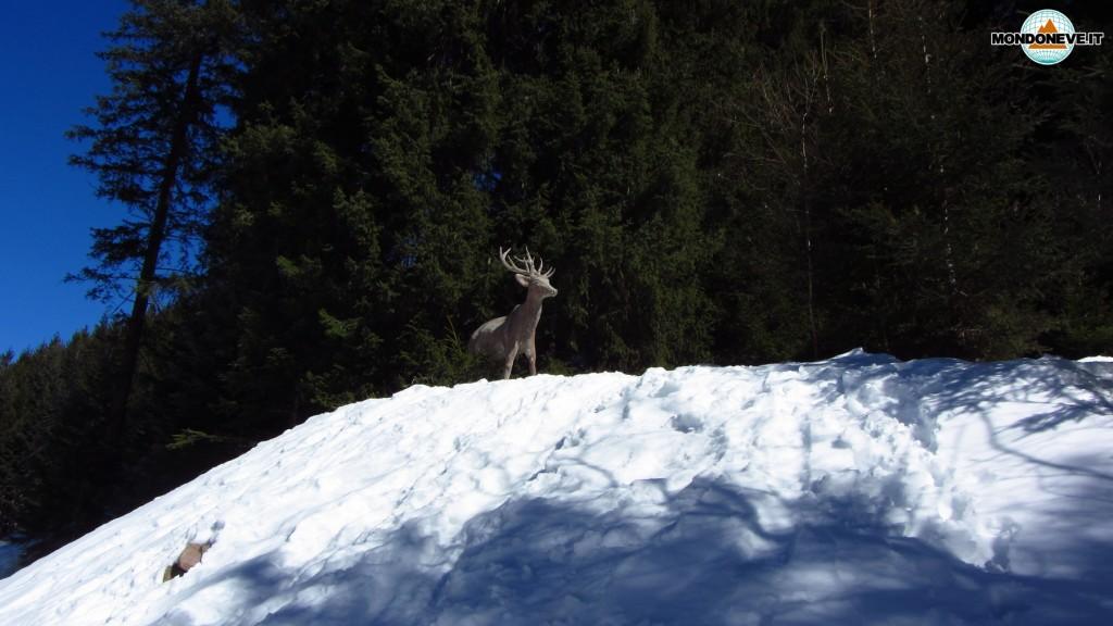 Capriolo Via del Bosco - Alpe Cermis
