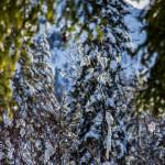 Abeti innevati Sappada Plodn Dolomiti - copyright Studio WLTP